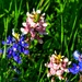 Once in a blue moon: Pink Bluebonnets!