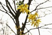 3rd Apr 2020 - Forsythia
