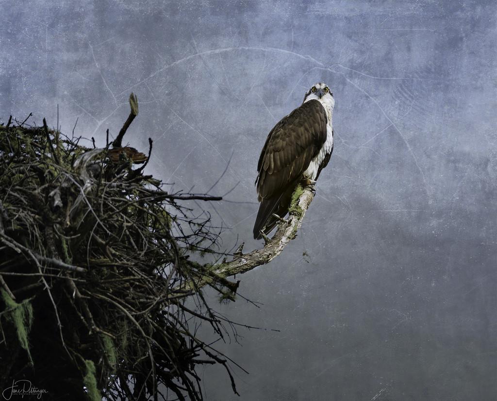 Osprey Giving Me the Evil Eye  by jgpittenger