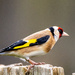 Mrs Goldfinch by stevejacob