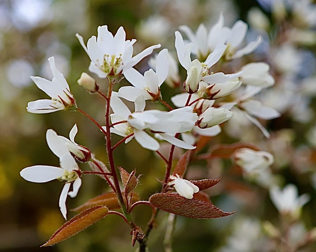 Mystery Tree Blossom by carole_sandford