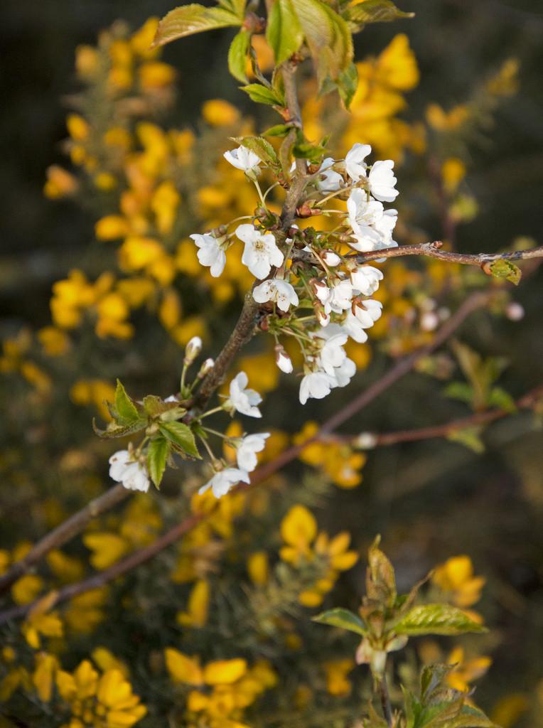 Blossom by shepherdman