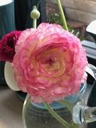 3rd Apr 2020 - Ranunculus flowers