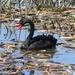 Black Swan, Tasmania