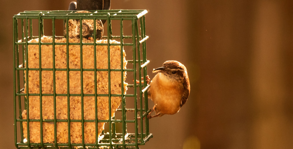 Carolina Wren Sampling the Suet! by rickster549