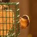 Carolina Wren Sampling the Suet!
