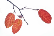 4th Apr 2020 - Autumn leaves
