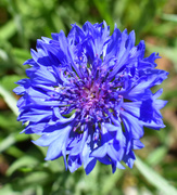 2nd Apr 2020 - Blue Cornflower