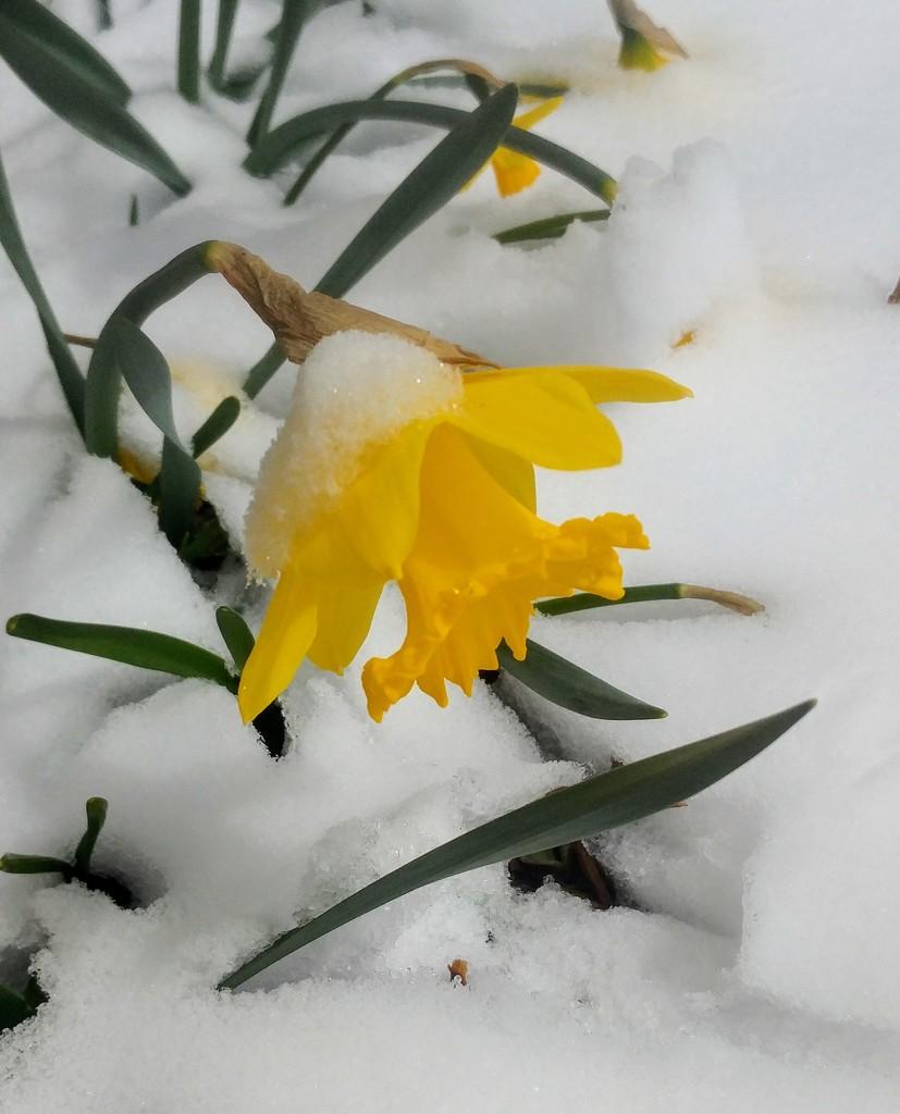 Snowy Daffodil by harbie