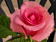 4th Apr 2020 - A Valentines Rose