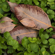 4th Apr 2020 - Remnant Leaves 2