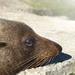 Foxton Beach's resident Seal