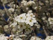 4th Apr 2020 - Springtime Blossoms