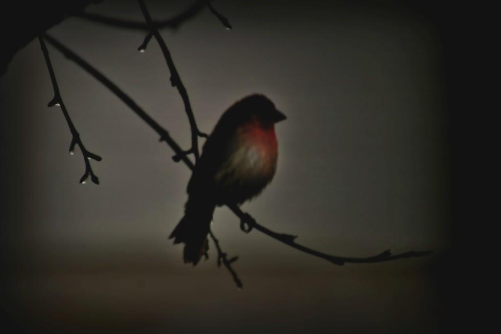 Dark Day Finch by lynnz