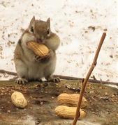 4th Apr 2020 - Chipmunks are Back!