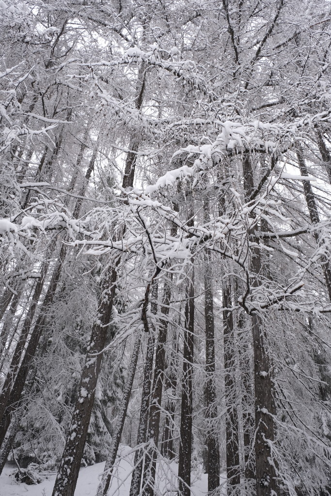 White trees  by caterina