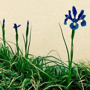 3rd Apr 2020 - Classy Iris