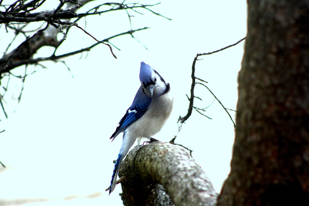 Mr. Blue Jay came calling by bruni