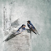 Barn Swallow by mikegifford