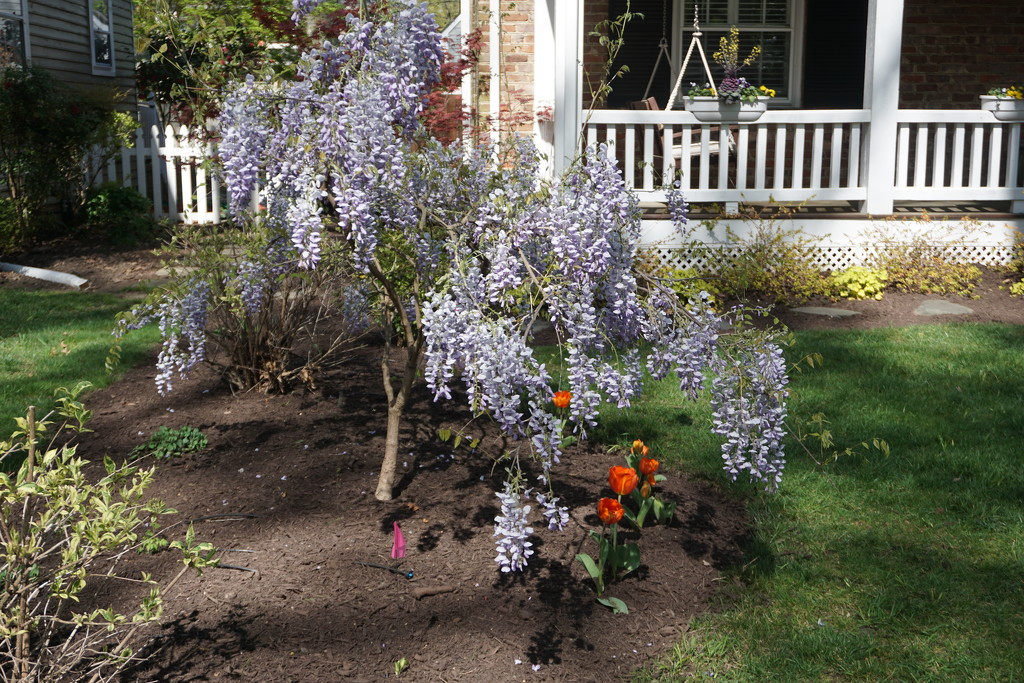 Wisteria on the Ground by allie912