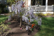 5th Apr 2020 - Wisteria on the Ground