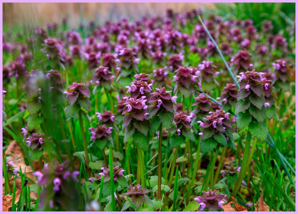 Purple by hjbenson