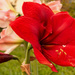 Red Amaryllis!