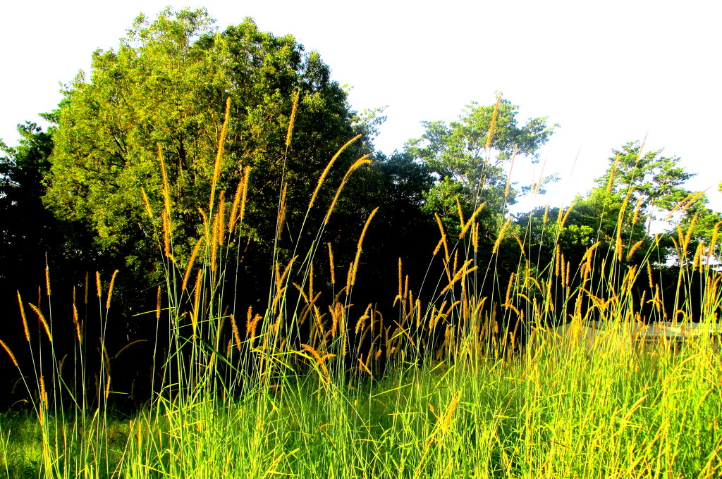 Golden grasses in the sunshine on my morning walk by 777margo