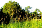 5th Apr 2020 - Golden grasses in the sunshine on my morning walk