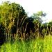 Golden grasses in the sunshine on my morning walk