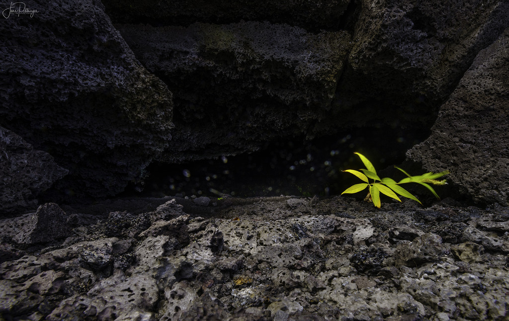 Growing  At the Entrance to a Lava Tube  by jgpittenger