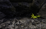 5th Apr 2020 - Growing  At the Entrance to a Lava Tube