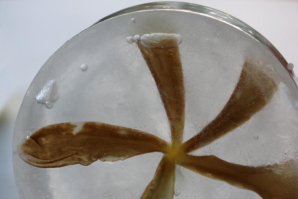 Frozen Frangipani flower by ingrid01