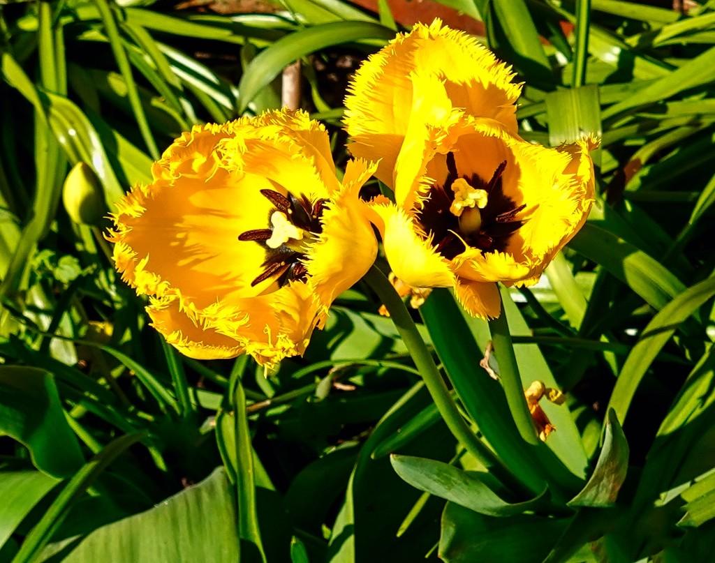 Tulip.. by tonygig