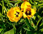 5th Apr 2020 -  Tulip..