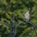 Mockingbird ruling the feeder