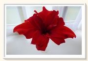 6th Apr 2020 - Amaryllis