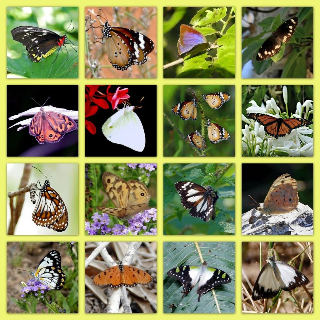 Australian Butterflies - Lockdown by judithdeacon