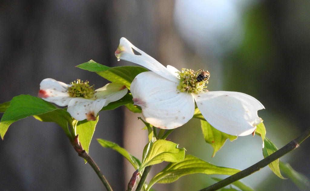 Dogwood and bee by homeschoolmom