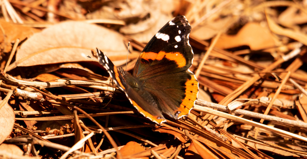 Butterfly on the Straw and Leaves! by rickster549
