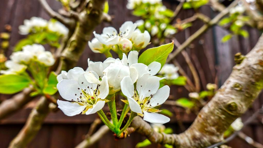 Pear Blossom. by tonygig