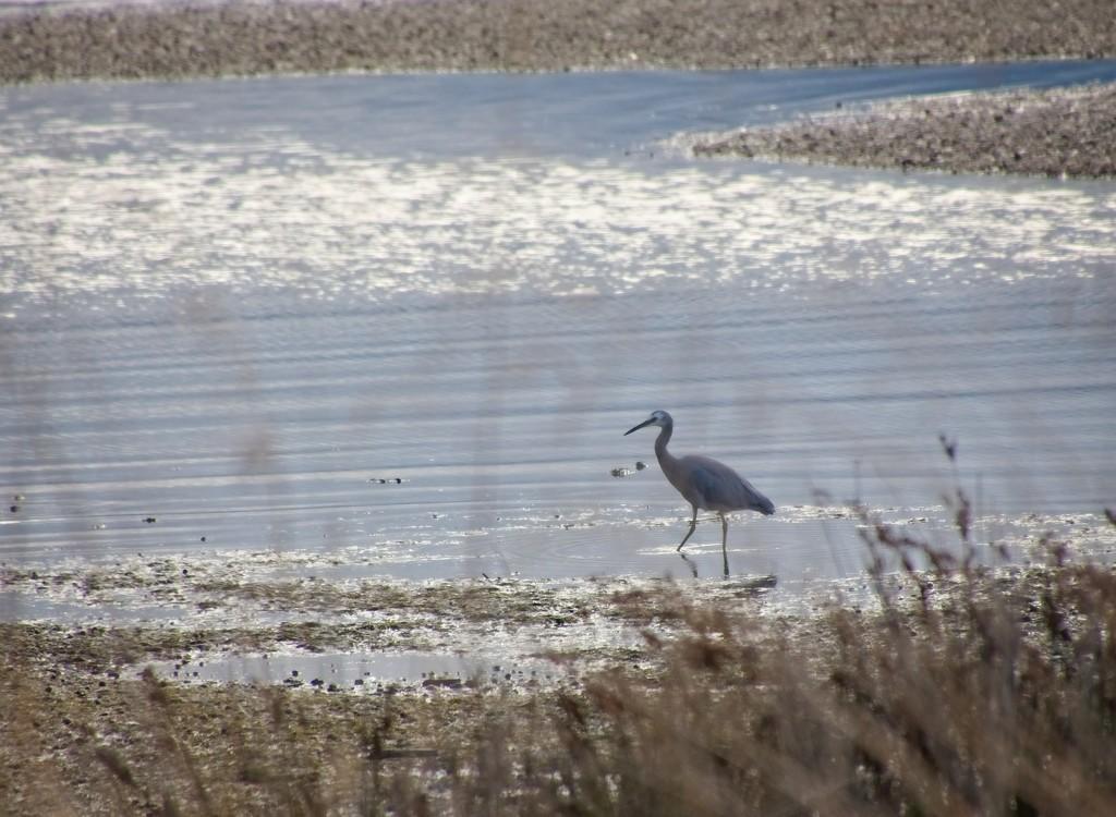Heron stalking by kiwinanna