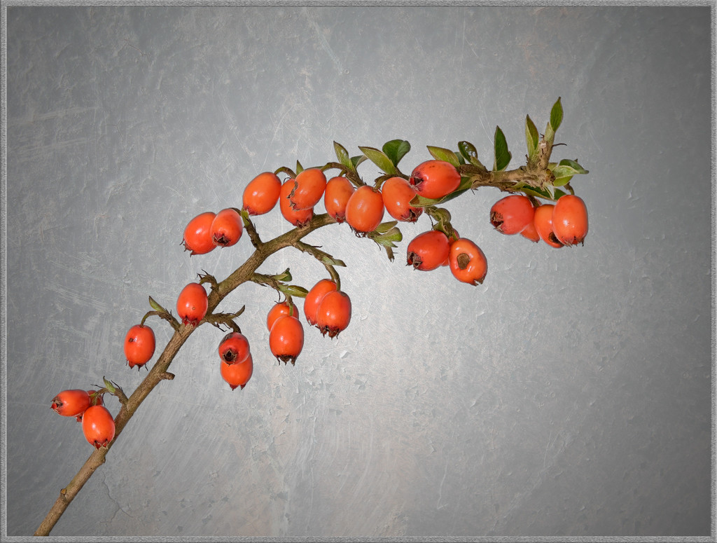 Cotoneaster by ellida