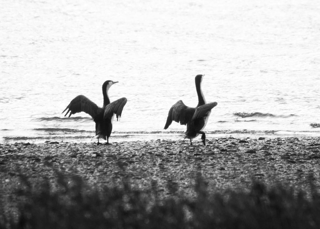 Cormorants drying off by kiwinanna