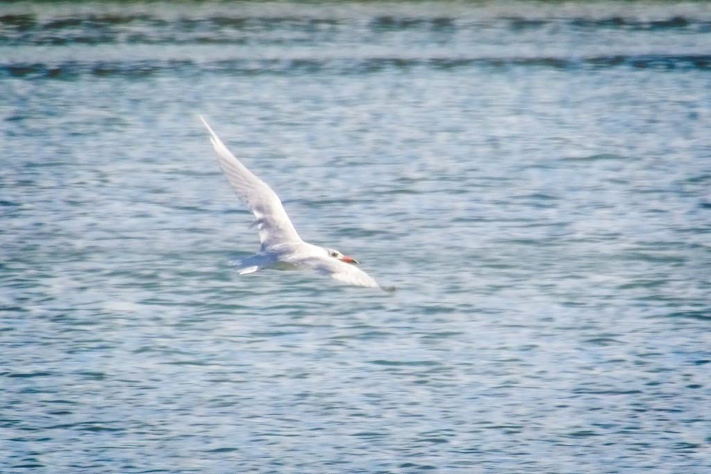 Caspian Tern in flight by kiwinanna