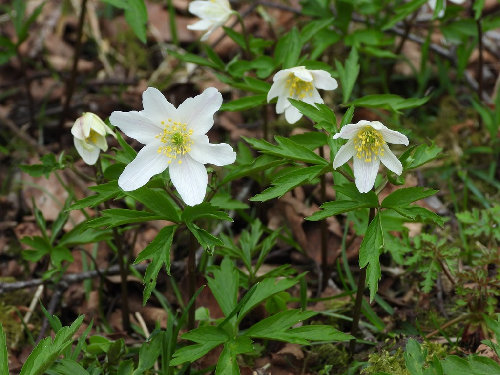 Wood anemones by roachling