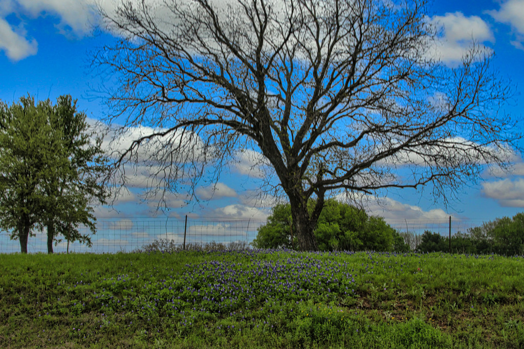 More Blue Bonnets by judyc57