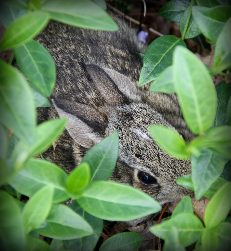 Peter Cottontail Hiding in the Periwinkle by calm