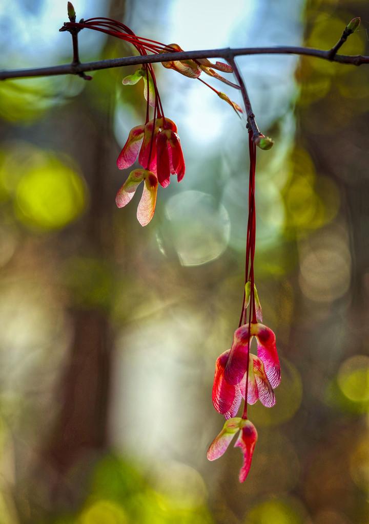 Maple Seedpods by kvphoto