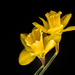 daffodils by jernst1779